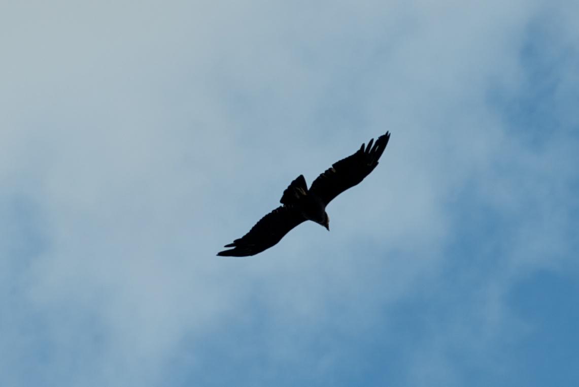Condor, Torres del Paine, Patagonia, Chile, 4 Apr 2012