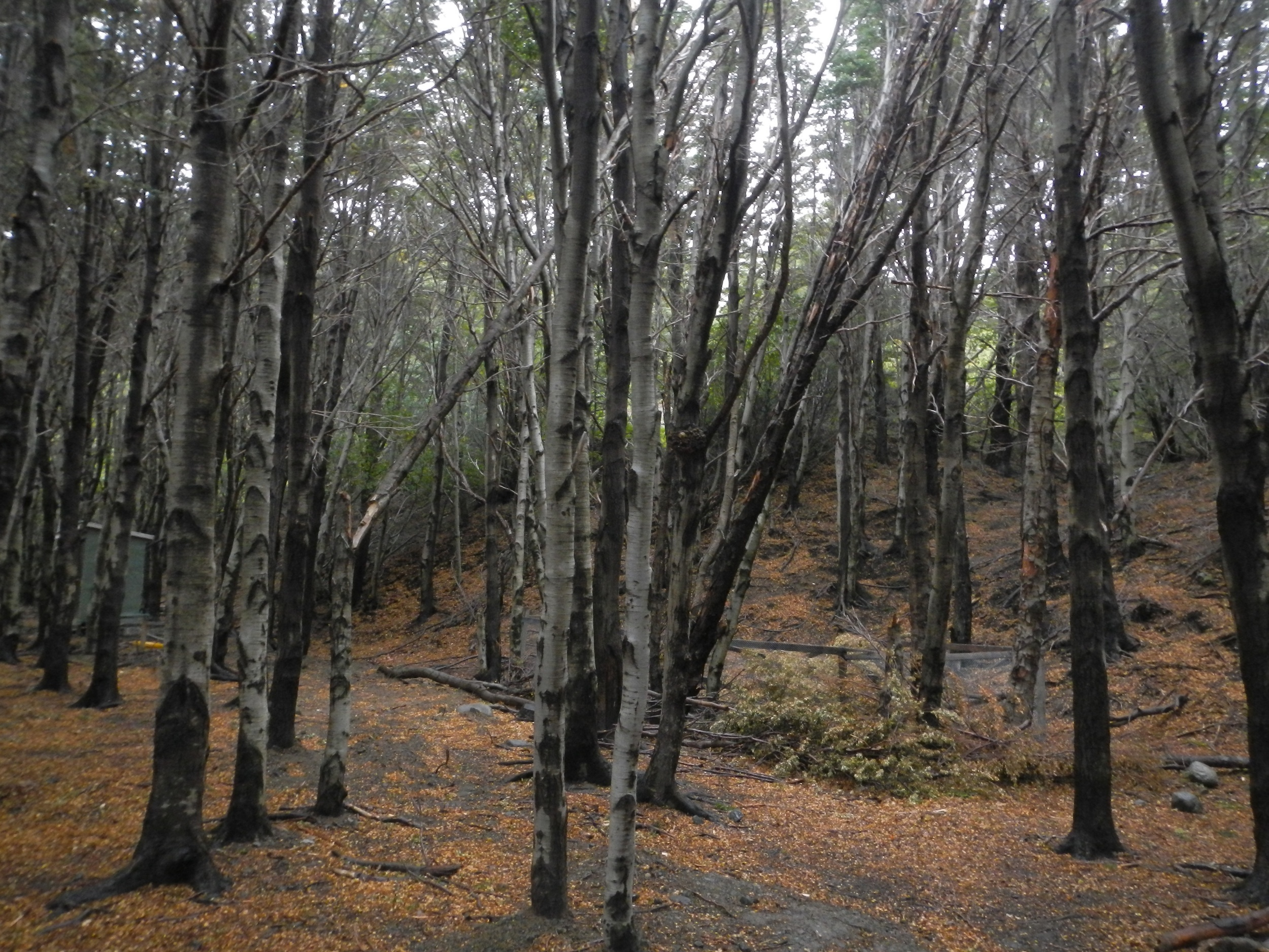 Burnt forest, Torres del Paine, Patagonia, Chile, 5 Apr 2012