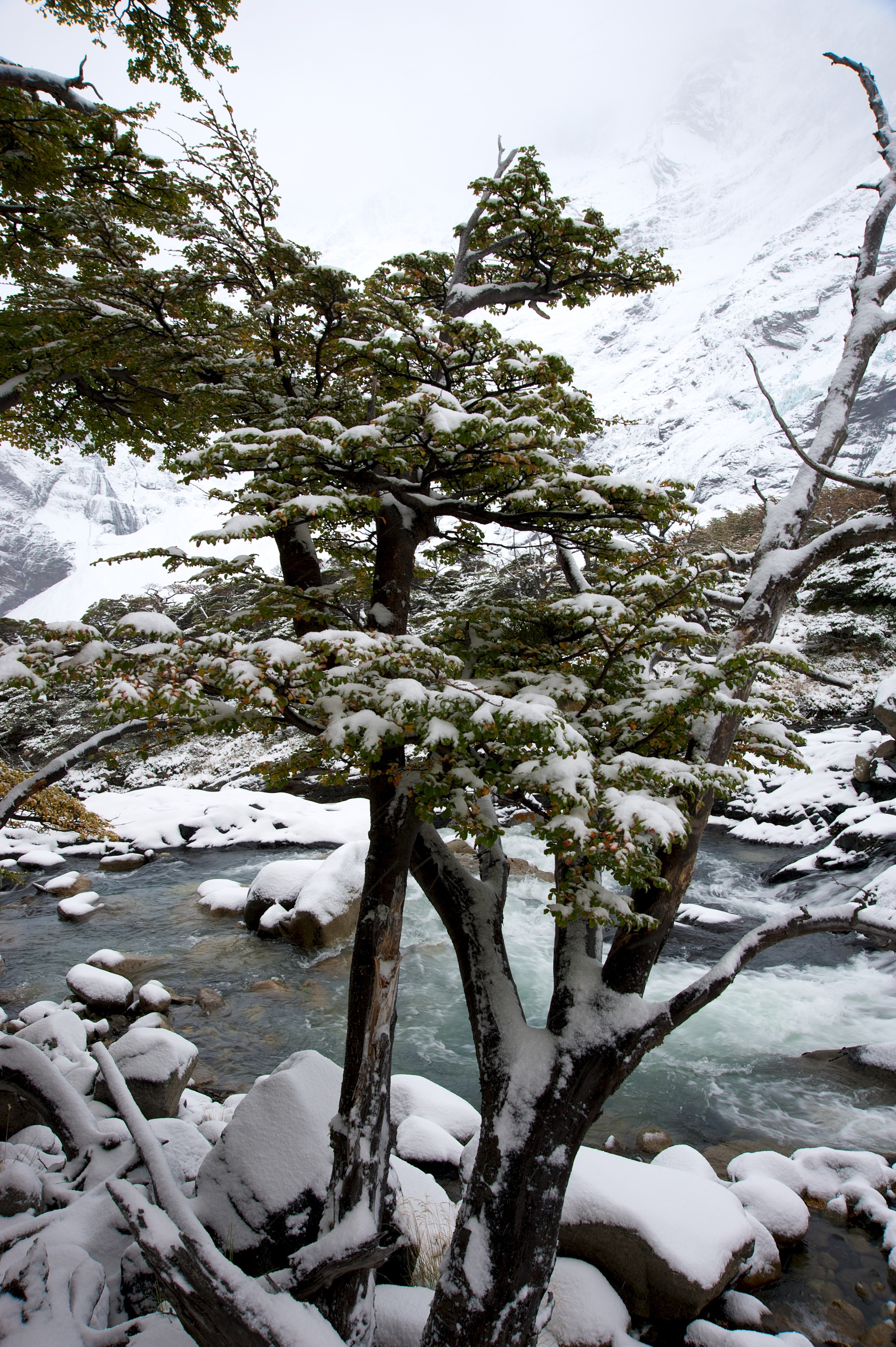 Trees in snow, Torres del Paine, Patagonia, Chile, 5 Apr 2012
