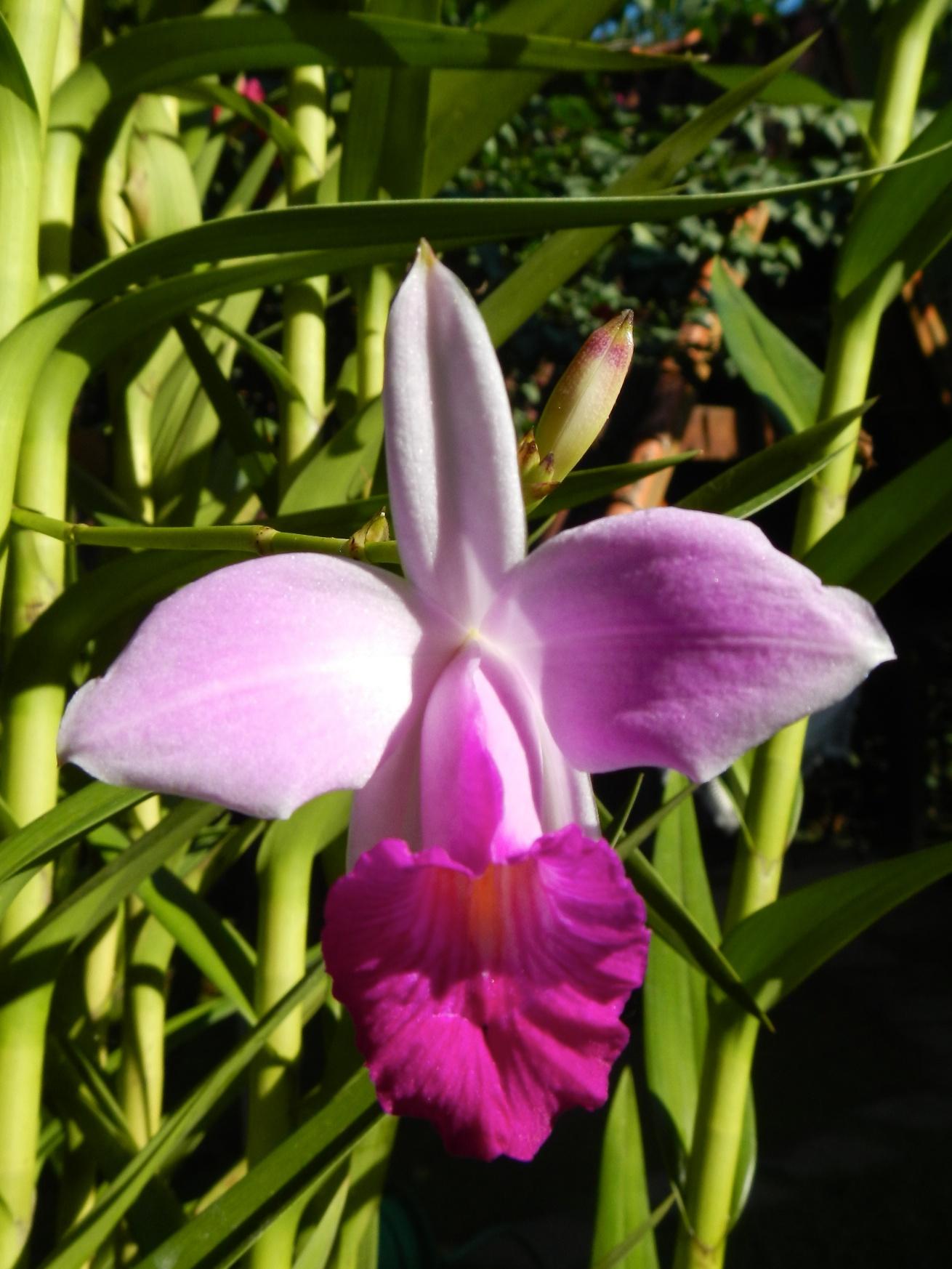 Orchid in Mata Nativa garden, Ilha Grande, Brazil, 11 April 2012
