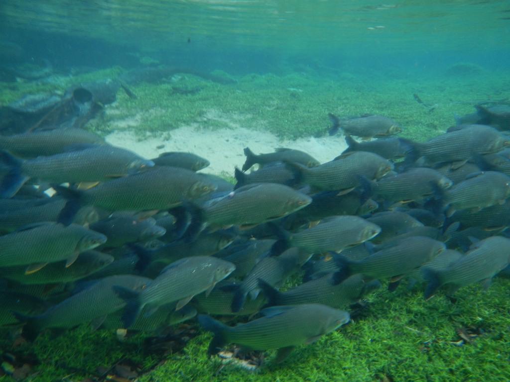 Fish #20, Prata, near Bonito, Brazil, 19 Apr 2012