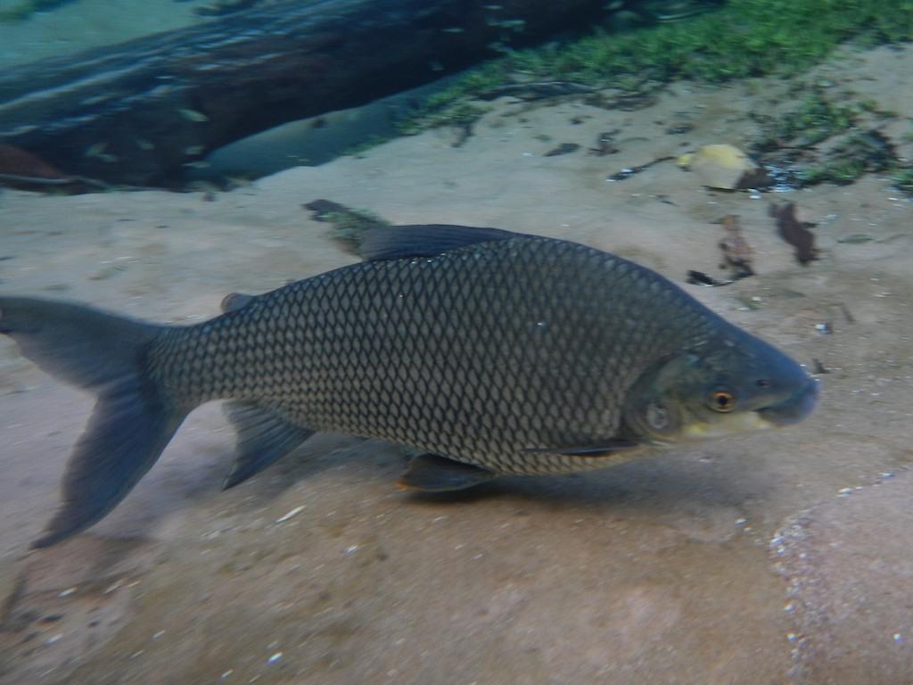 Fish #18, Prata, near Bonito, Brazil, 19 Apr 2012