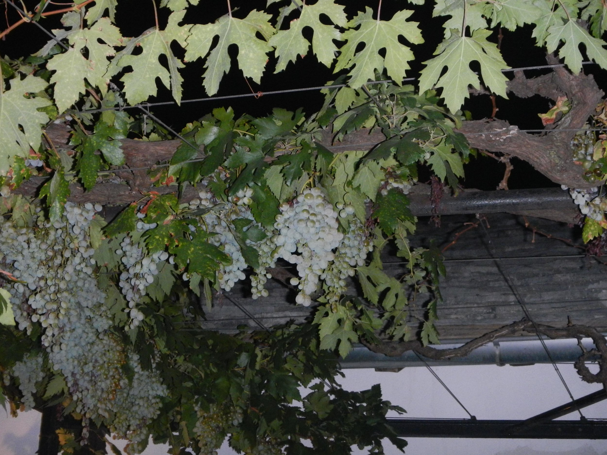 Grapes at restaurant 001, Mostar