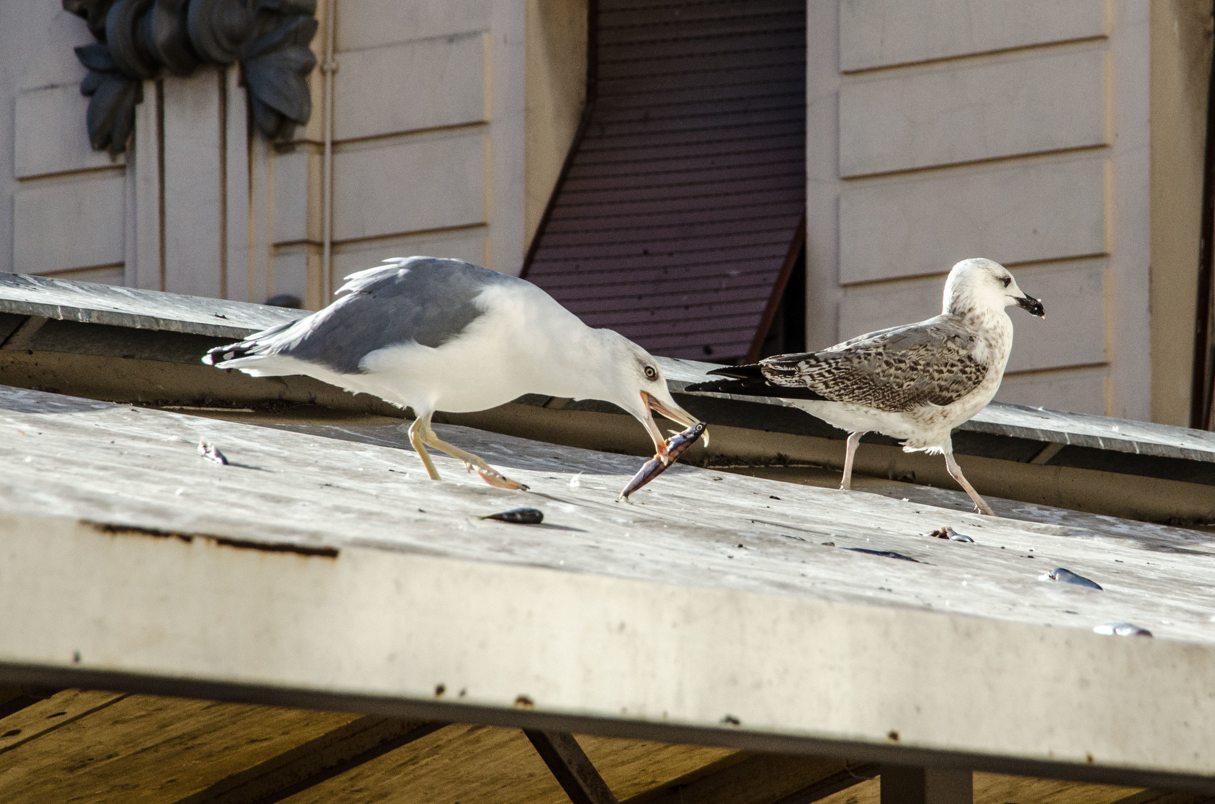 Seagulls at Fish Market, Split