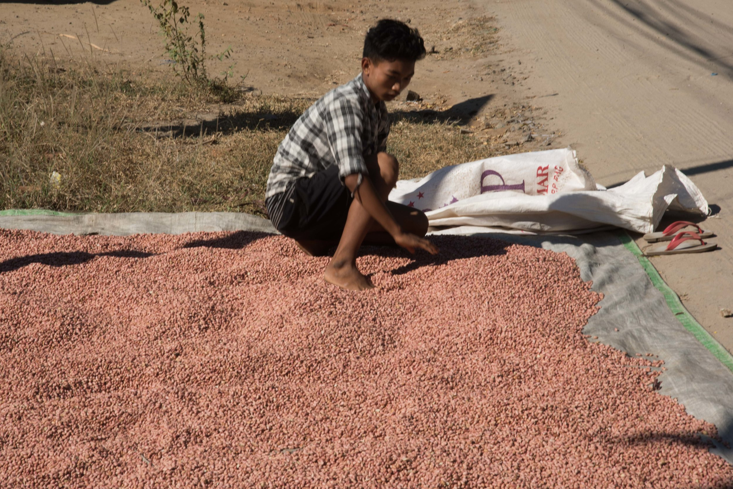 Drying peanuts on the side of the road, Bagan, Myanmar, 20 Nov 2017.jpg