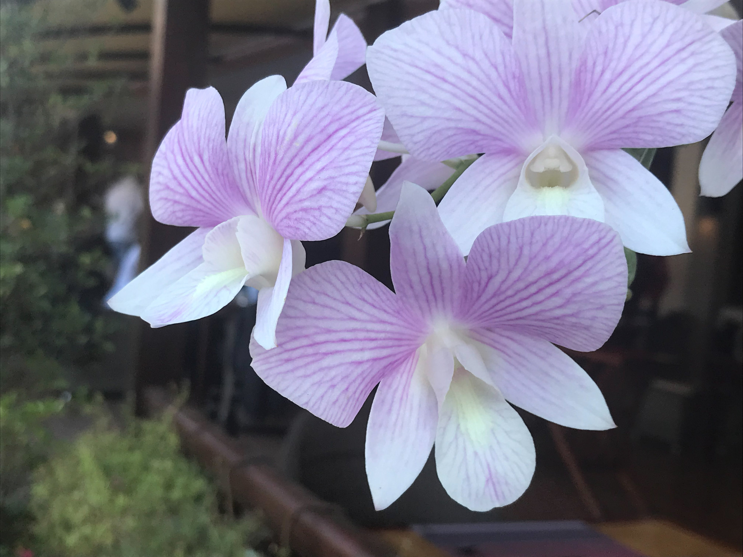 Orchids at our hotel