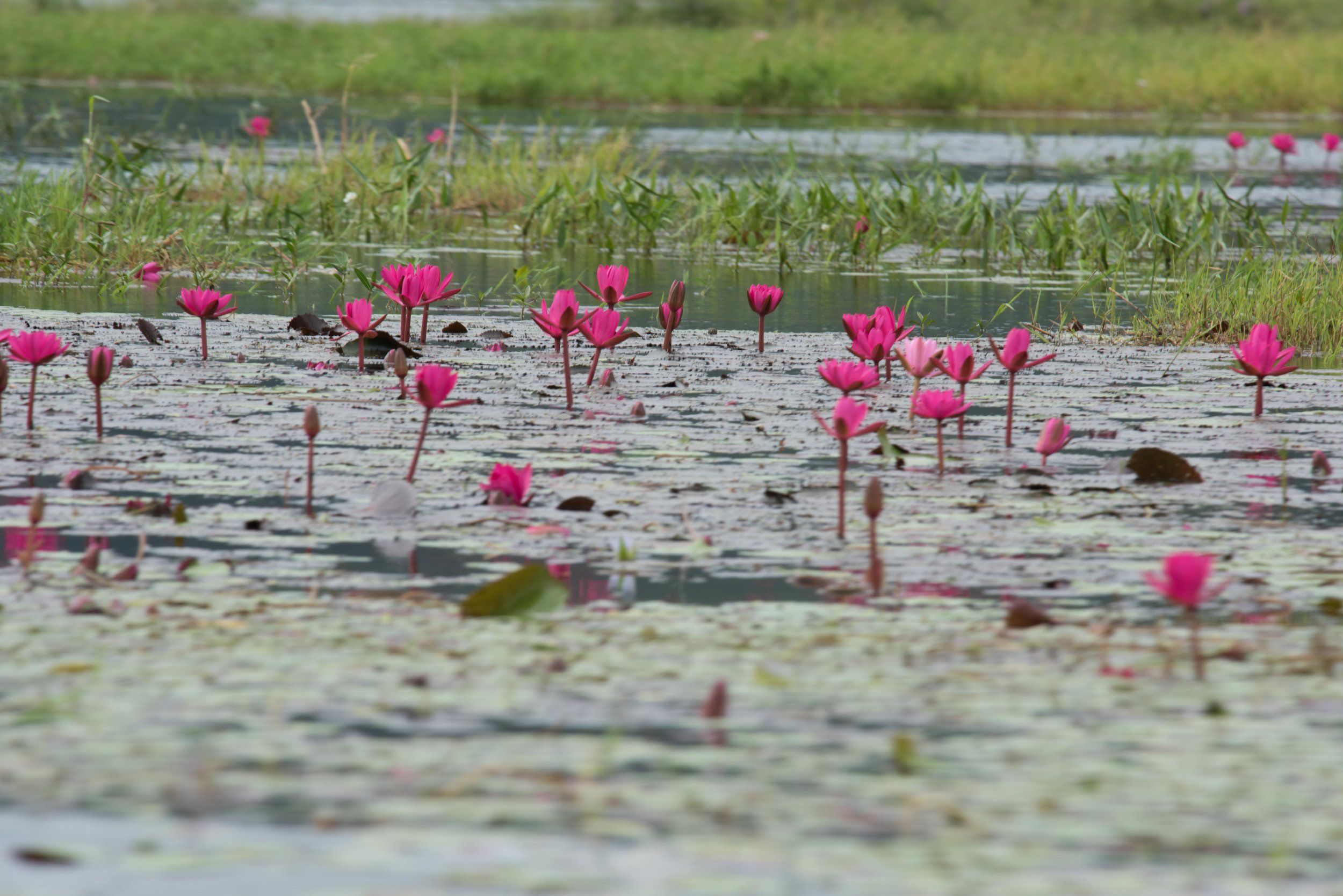 Lotus flowers 001, Inle Lake, Myanmar, 23 Nov 2017.jpg