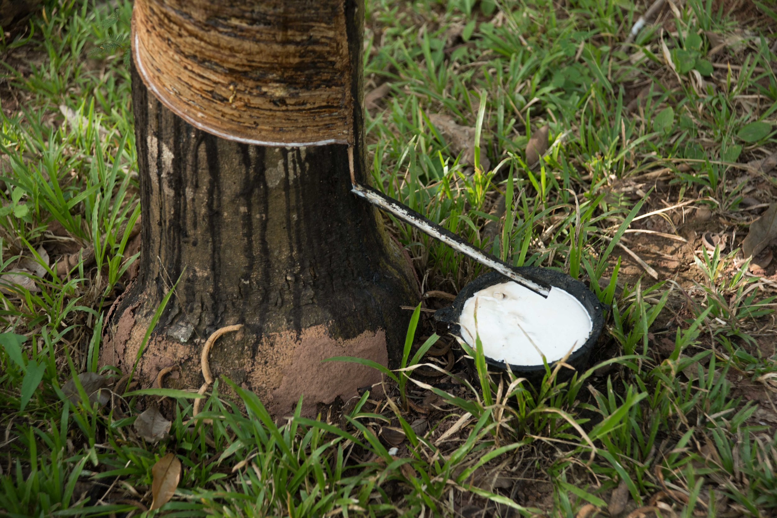 Extracting rubber from rubber tree 002, Laos, 28 Nov 2017.jpg
