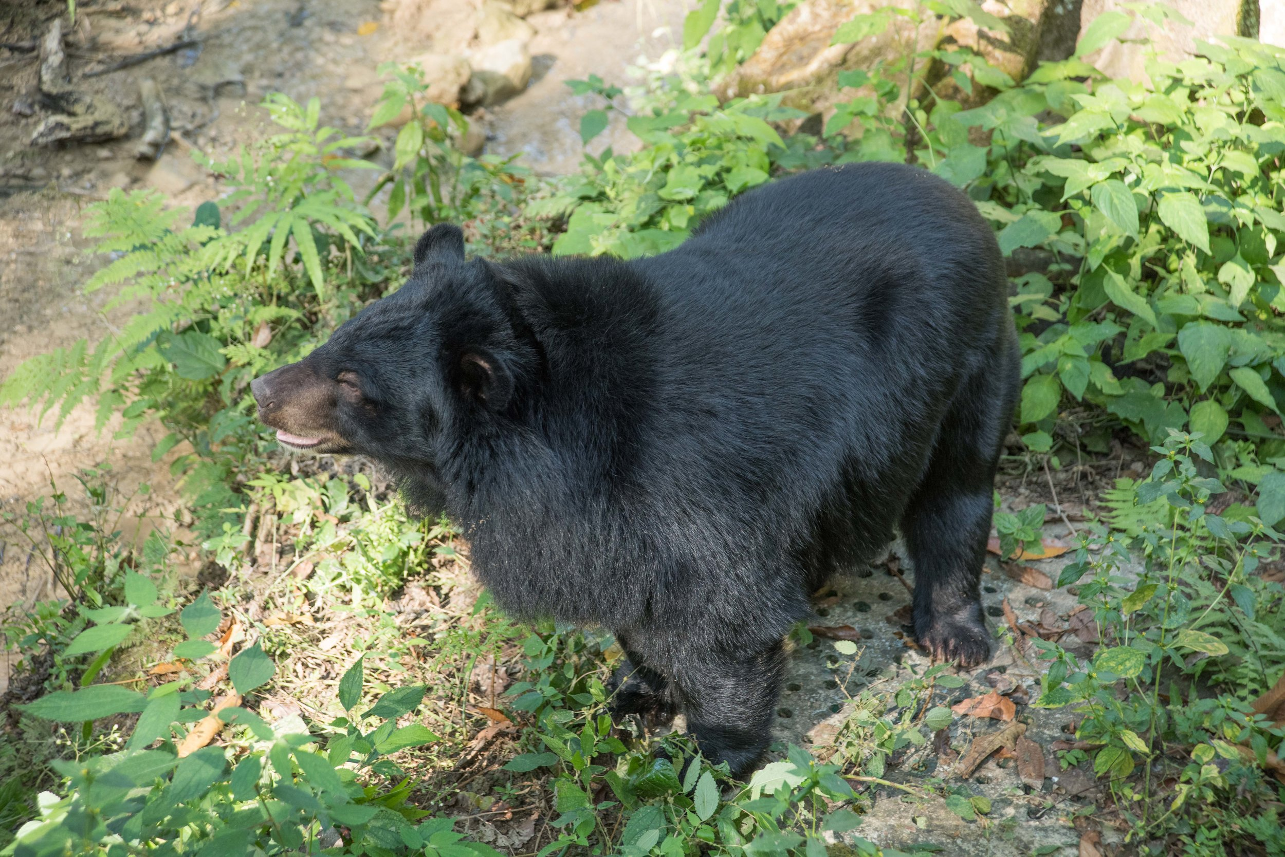 Asiatic Black (Moon) bear, Luang Prabang, Laos, 1 Dec 2017-3.jpg