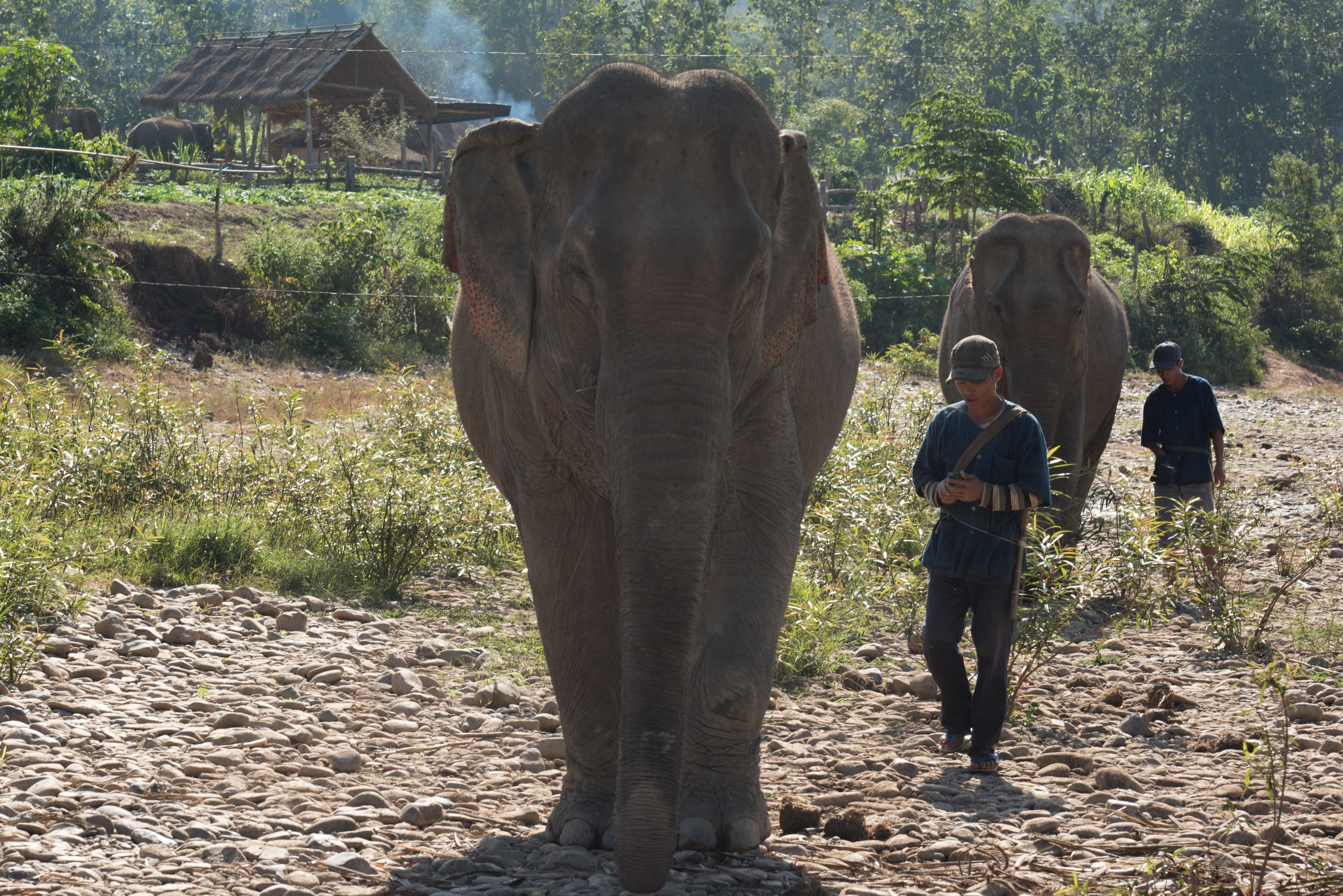 Elephants with carers, MandaLoa Elephant Conservation Park, Laos, 2 Dec 2017.jpg