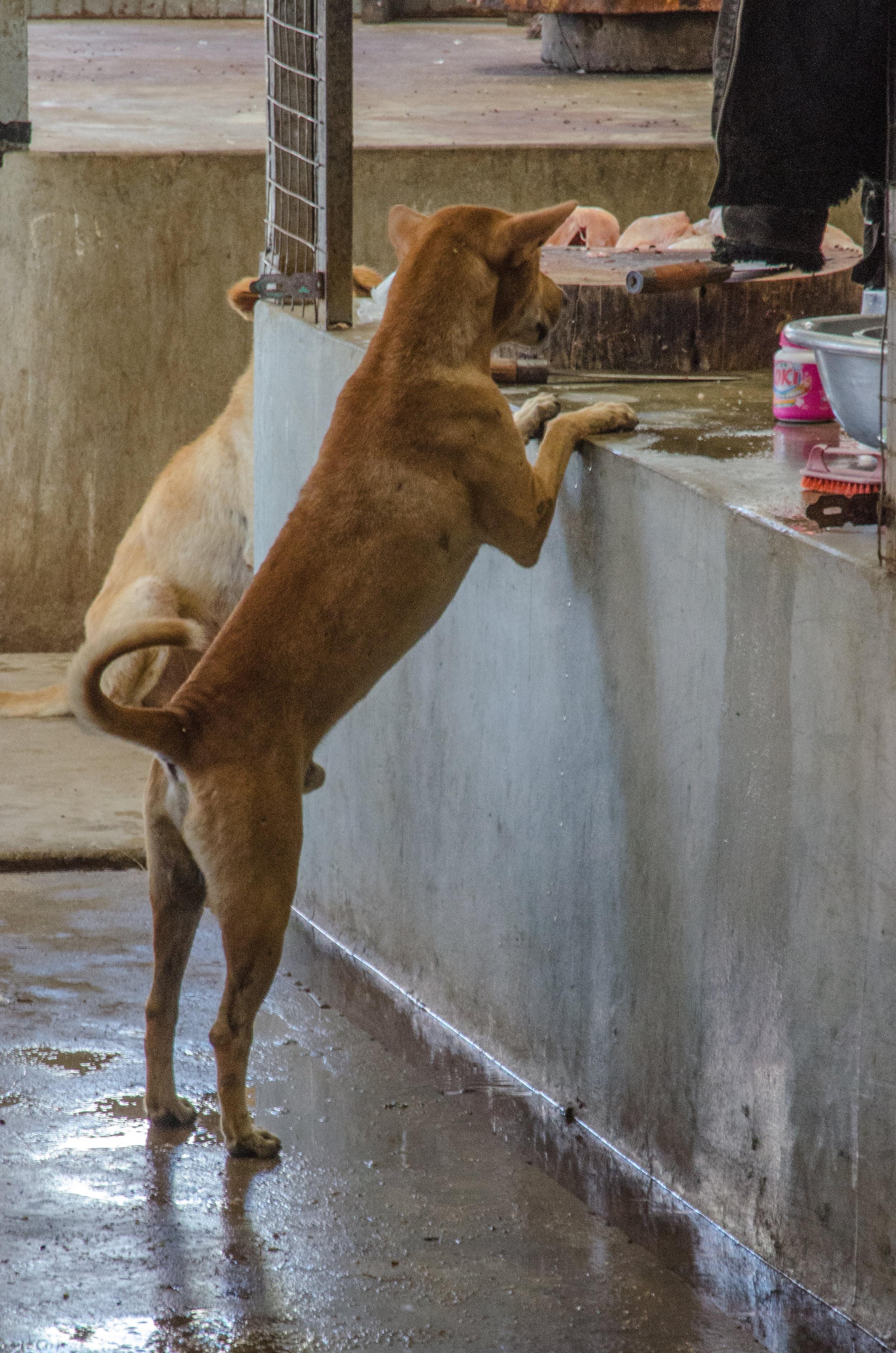 Dog in meat section, Farmer's Market, New Bagan, Myanmar