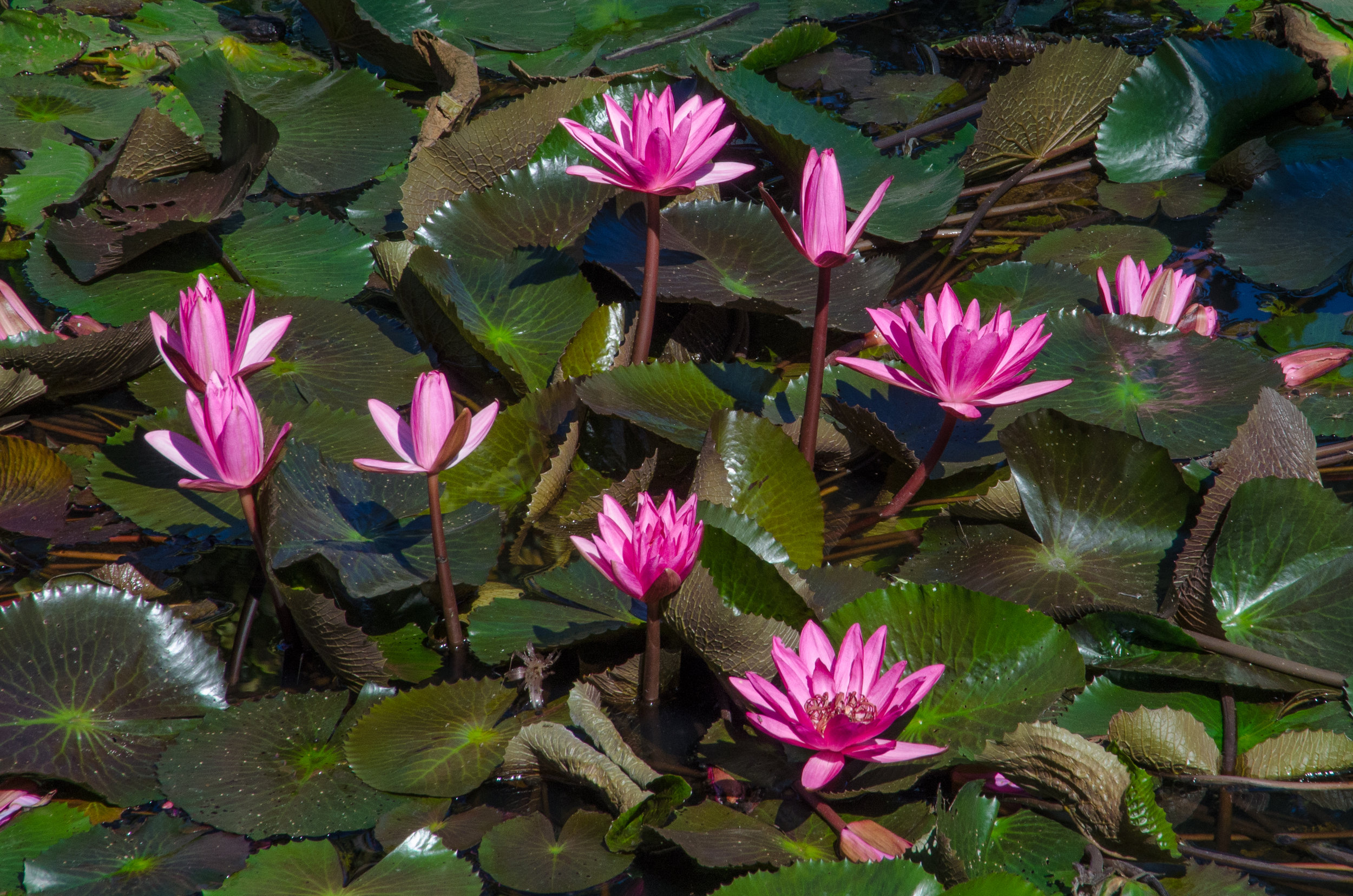 Lotus flowers, National Museum complex, Luang Prabang, Laos