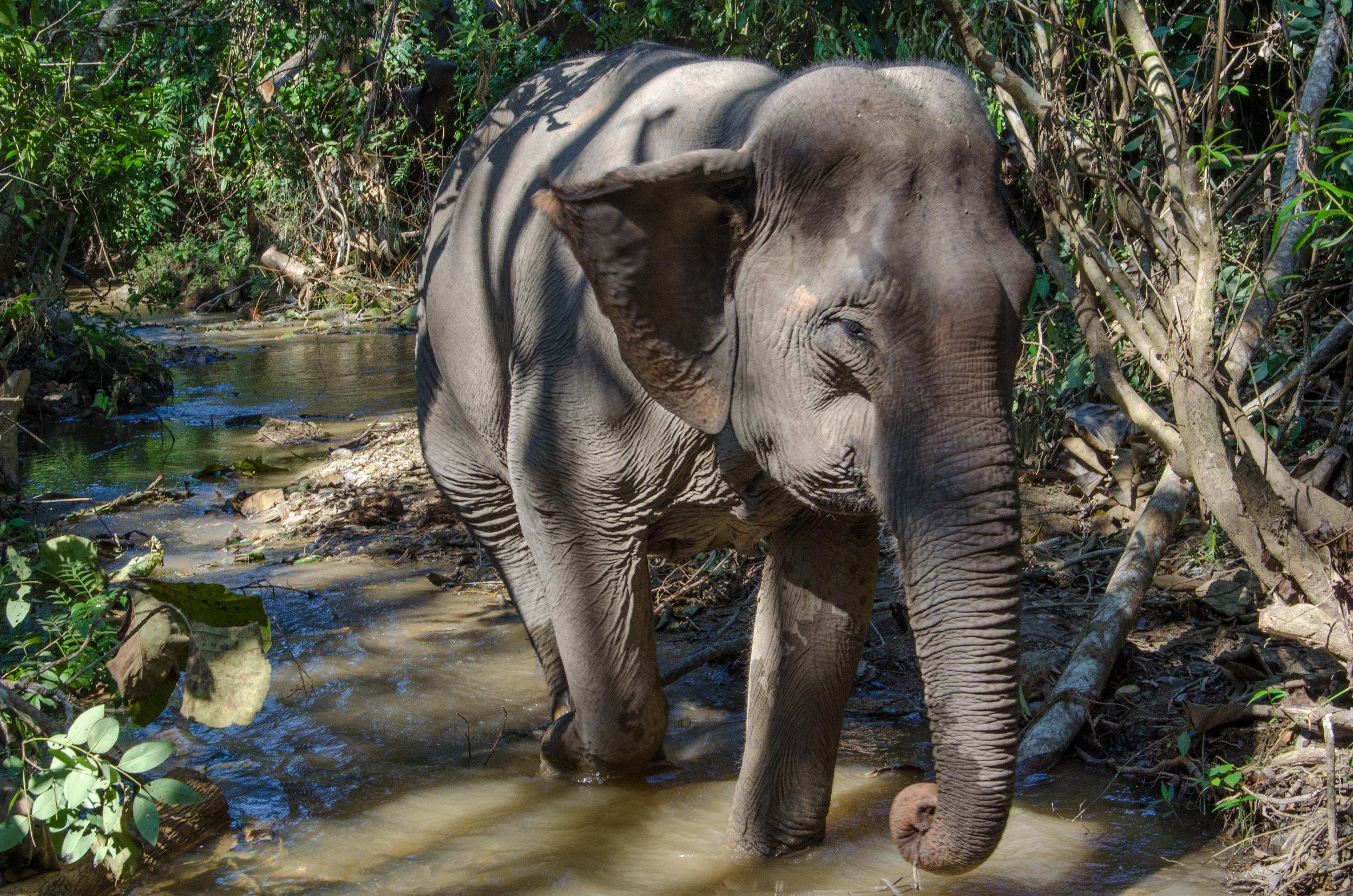 Elephant walk, MandaLao Elephant Conservation Park, Laos