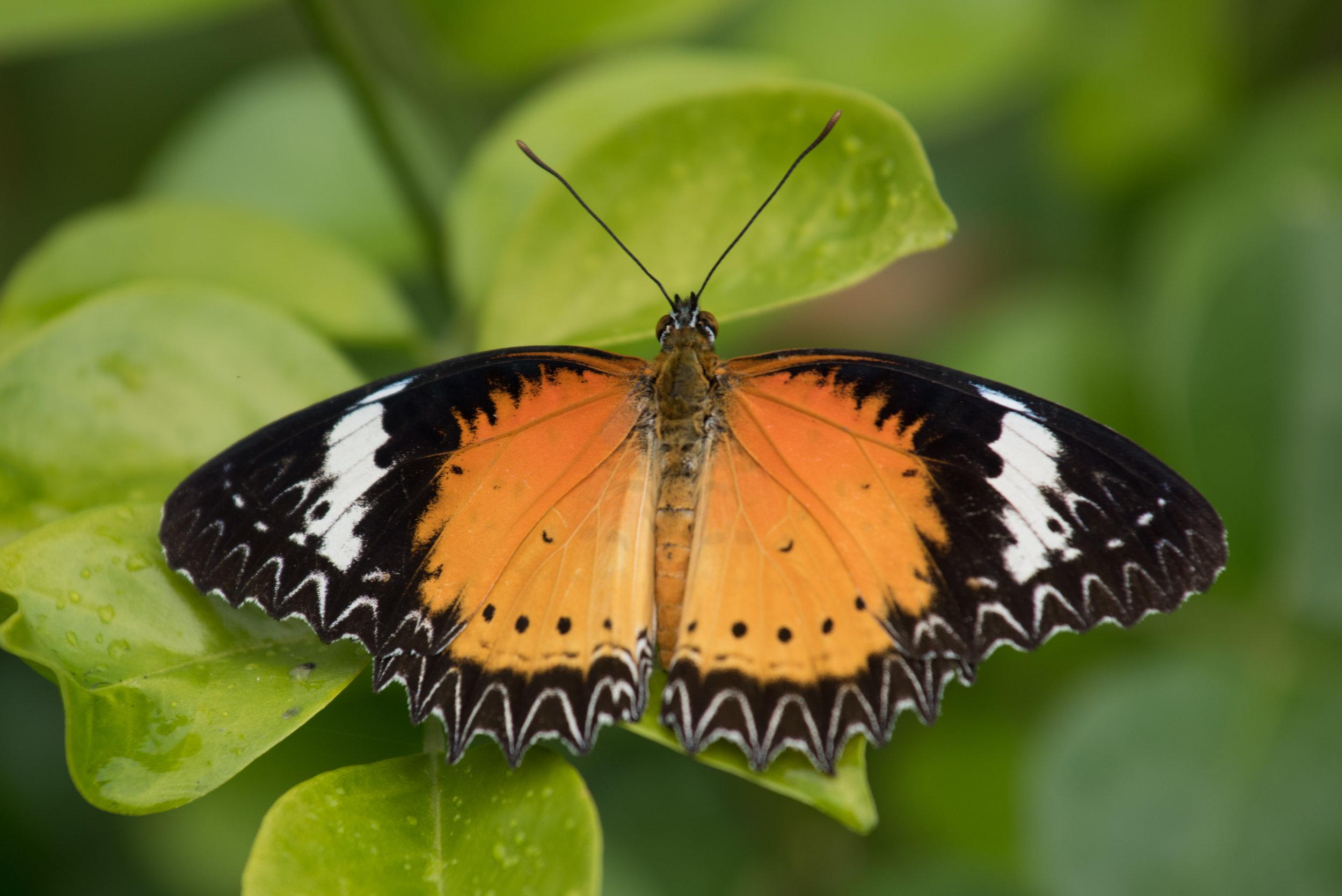 Butterfly, Samkar, Inle Lake, Myanmar