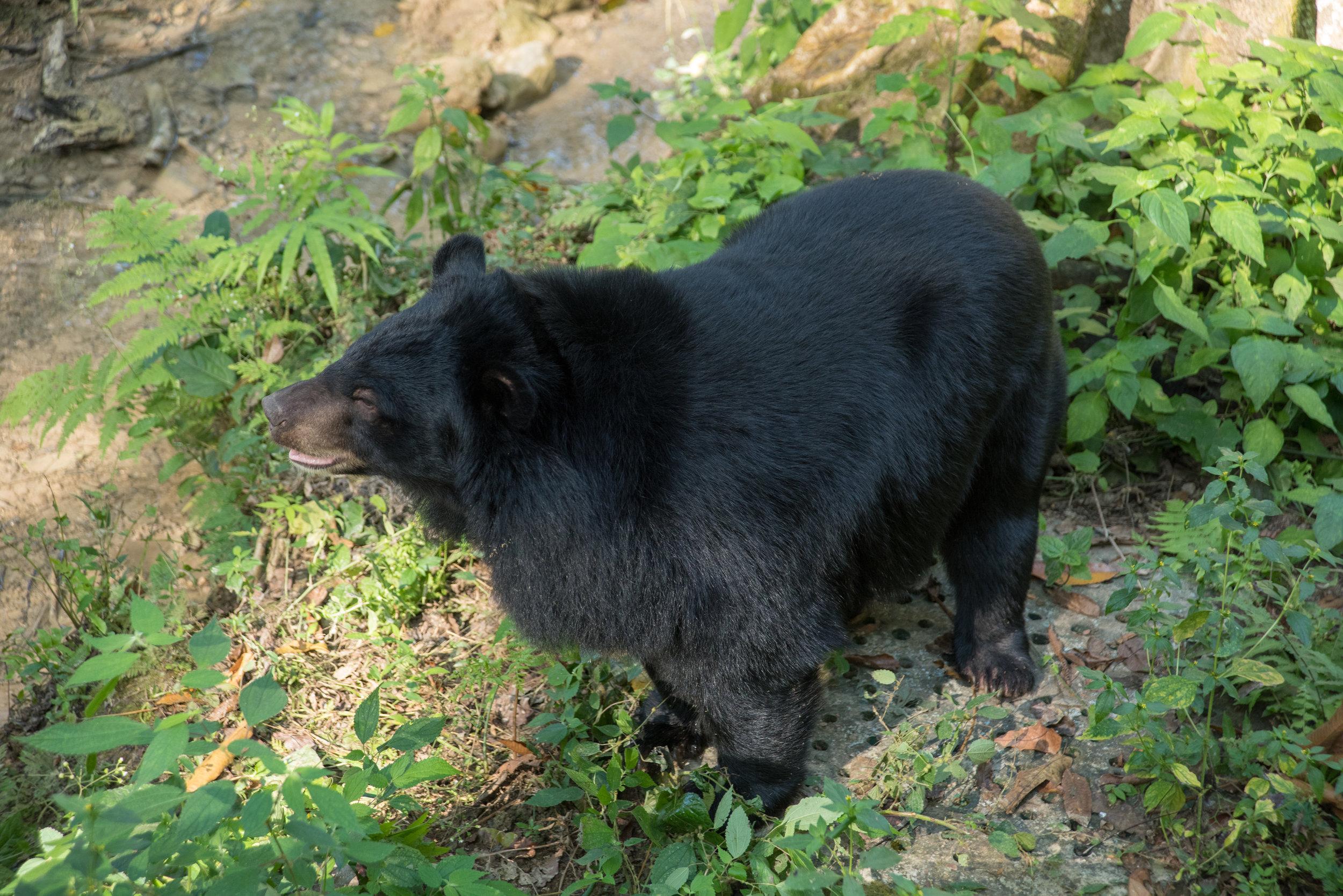 Asiatic Black (Moon) bear, Tat Kouang Si Bear Rescue Centre, Luang Prabang, Laos