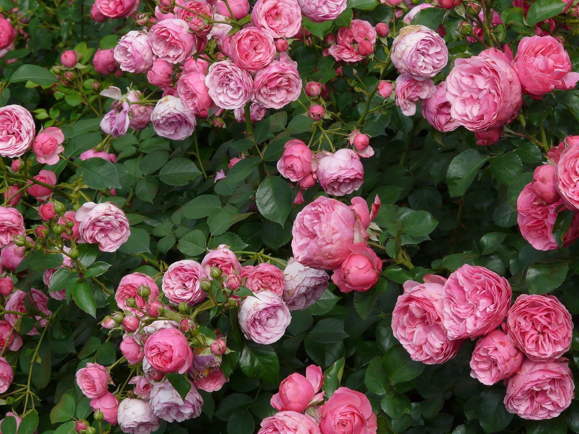 rose-8219_1920.jpg