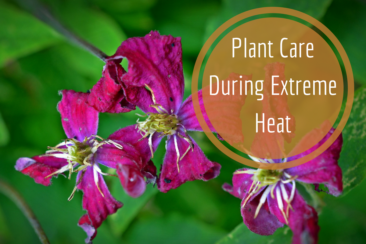 plant care during extreme heat