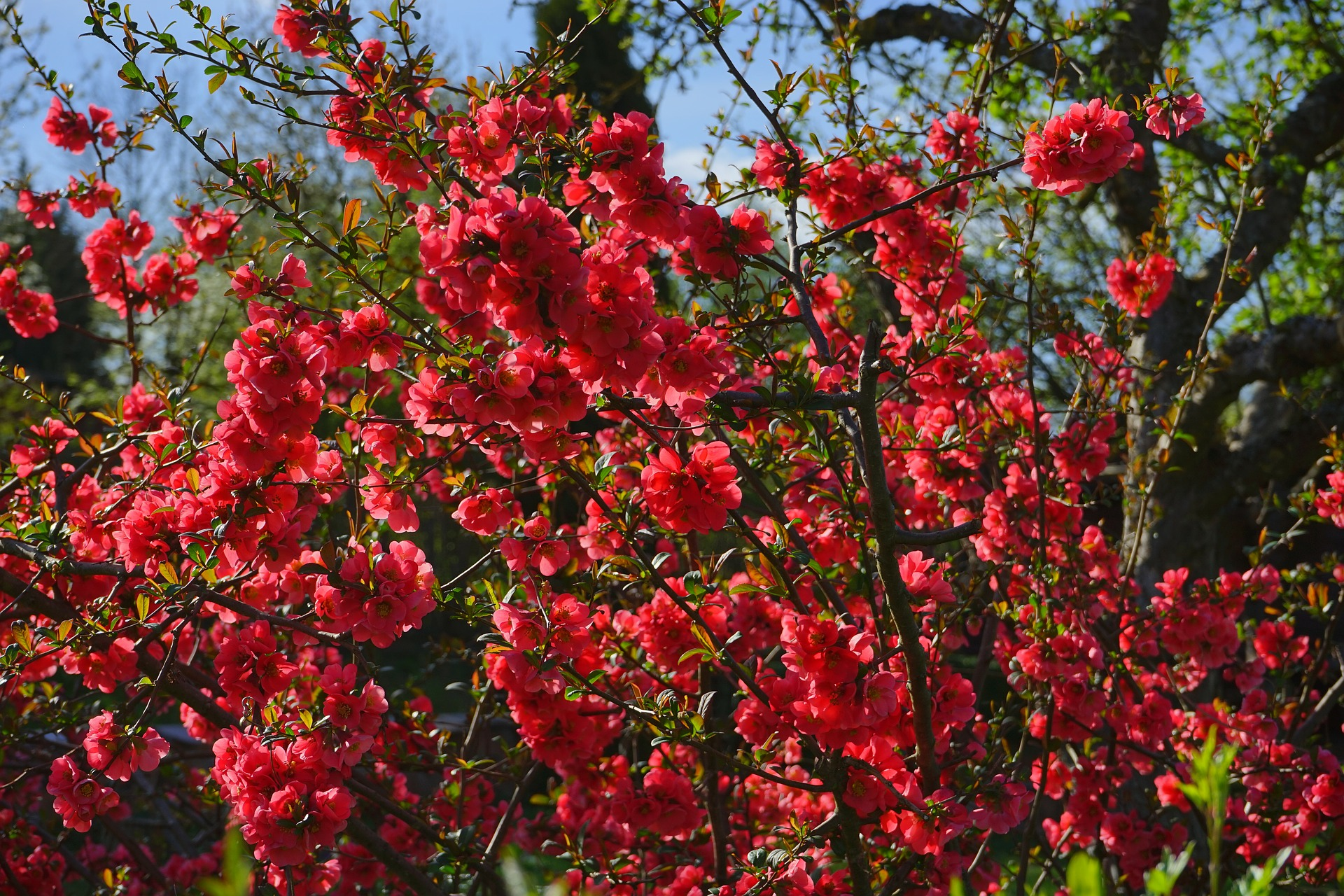 japanese-ornamental-quince-324372_1920.jpg