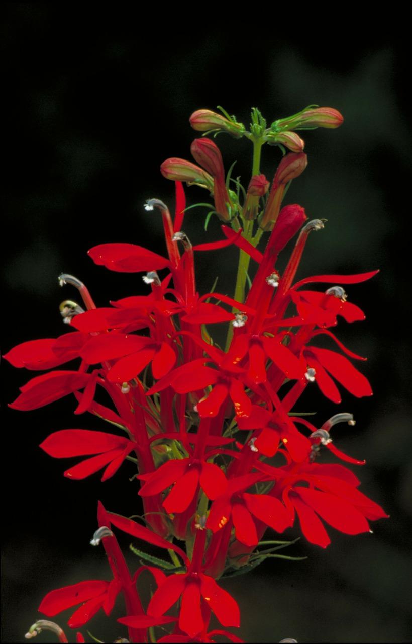 cardinal-flower-86592_1280.jpg