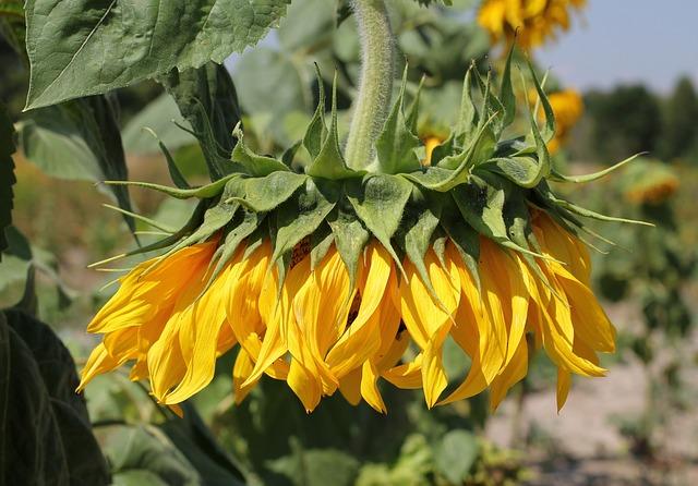 sunflower-2022848_640.jpg