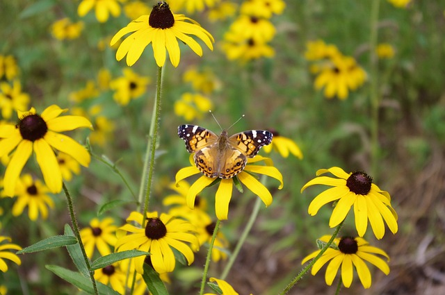 butterfly-on-black-eyed-susan-3566965_640.jpg