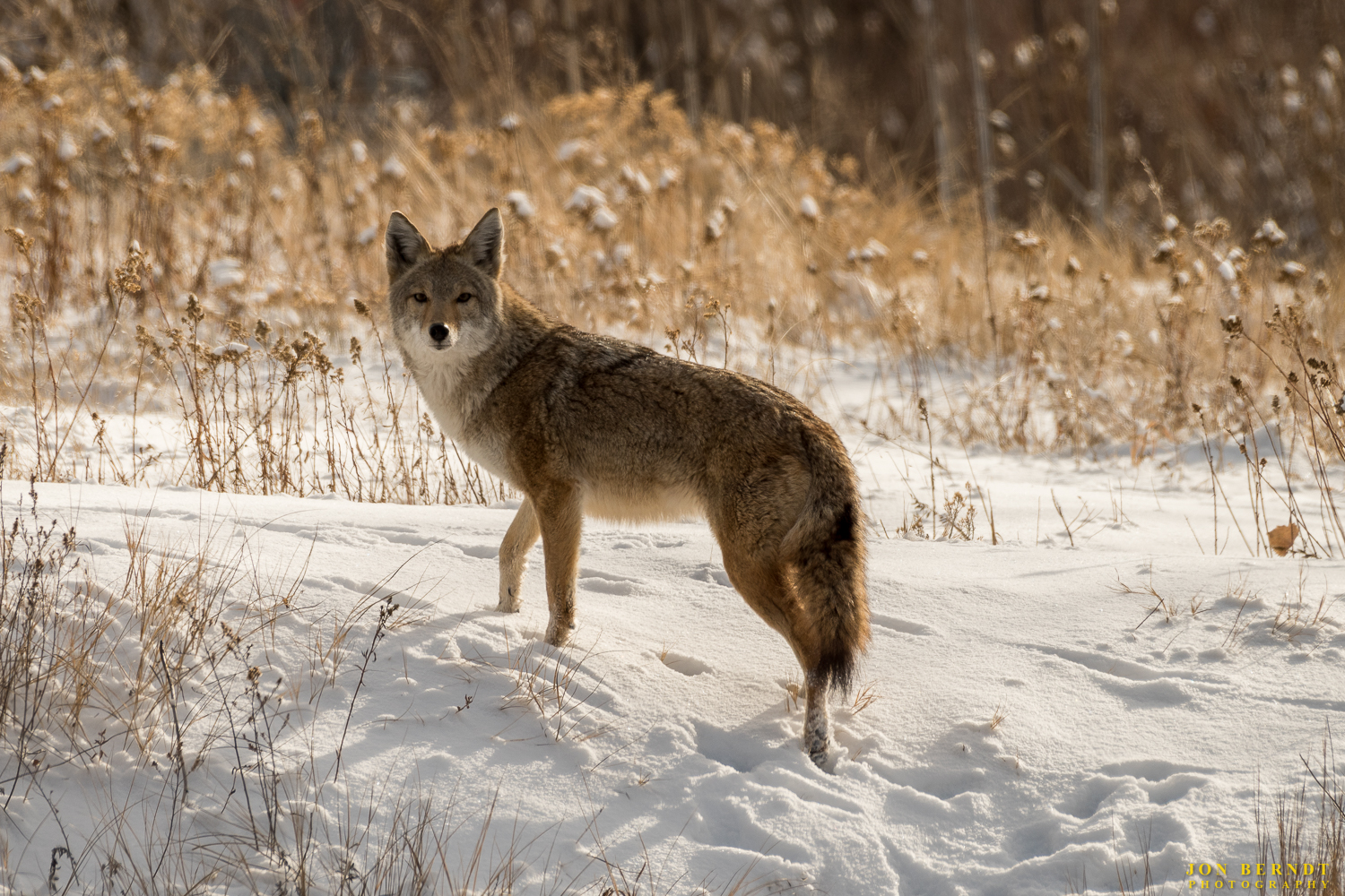 I surprised a coyote that was walking along a frozen creek bed on the day after Christmas. He took off up the side and paused to look at me.   Click here  for information on ordering a print of this photograph.