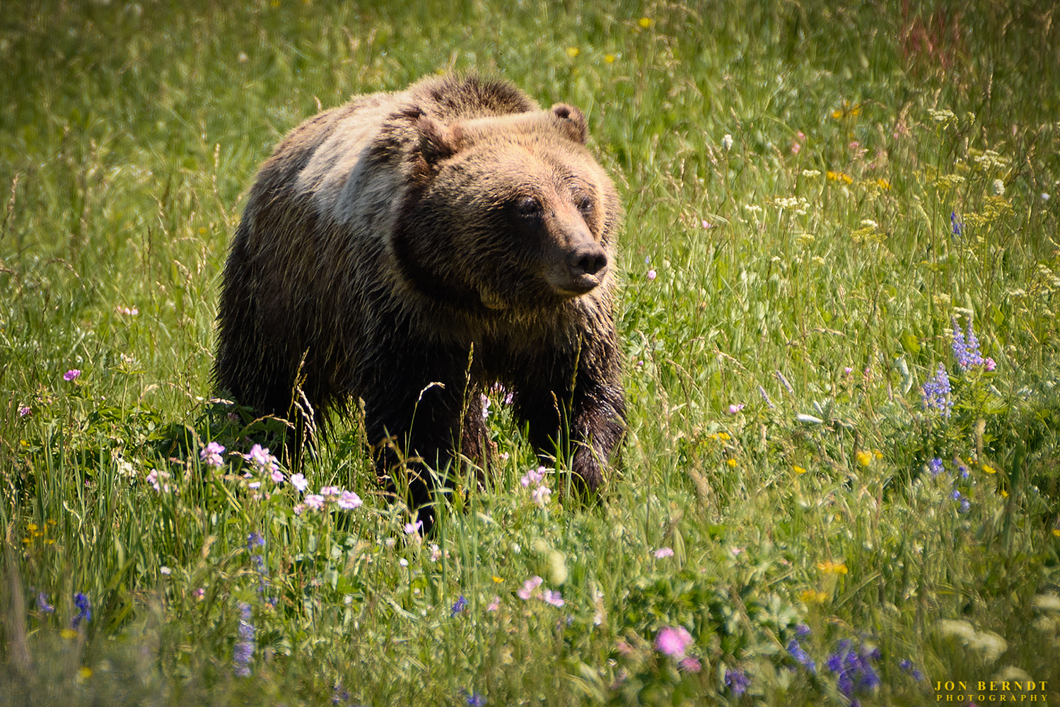 It's always exciting to come across a grizzly bear. This photograph was made not too far east of Grand Teton National Park.   Click here  for information on ordering a print of this photograph.