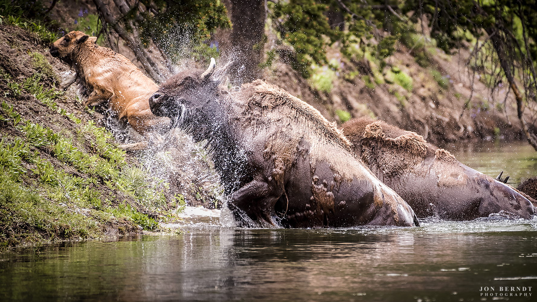 I was fortunate to come across a couple of groups of bison crossing the Yellowstone River just upstream of the Lower Falls this past June. The groups both seemed to be in a hurry to get to the river, running from the trees nearby. As they reached the river they hesitated just for a moment, then got in and started swimming. Bison are not terribly buoyant, so only a part of their head stuck up above water. As they crossed they were breathing and grunting heavily, laboring against the current, aiming upstream. One mother was herding her calf as they swam. Upon reaching the other side they shook off gallons of water and continued on into Hayden Valley.   Click here  for information on ordering a print of t his photograph.