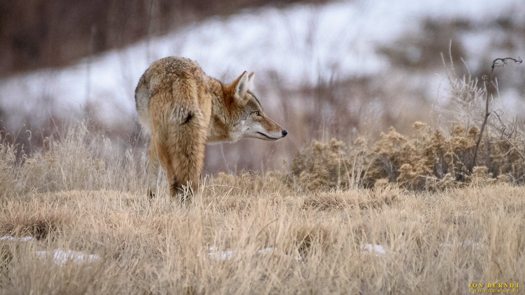 A coyote wanders in big Dry Creek open space in Westminster, Colorado, looking for food.   Click here  for information on ordering a print of this photograph.