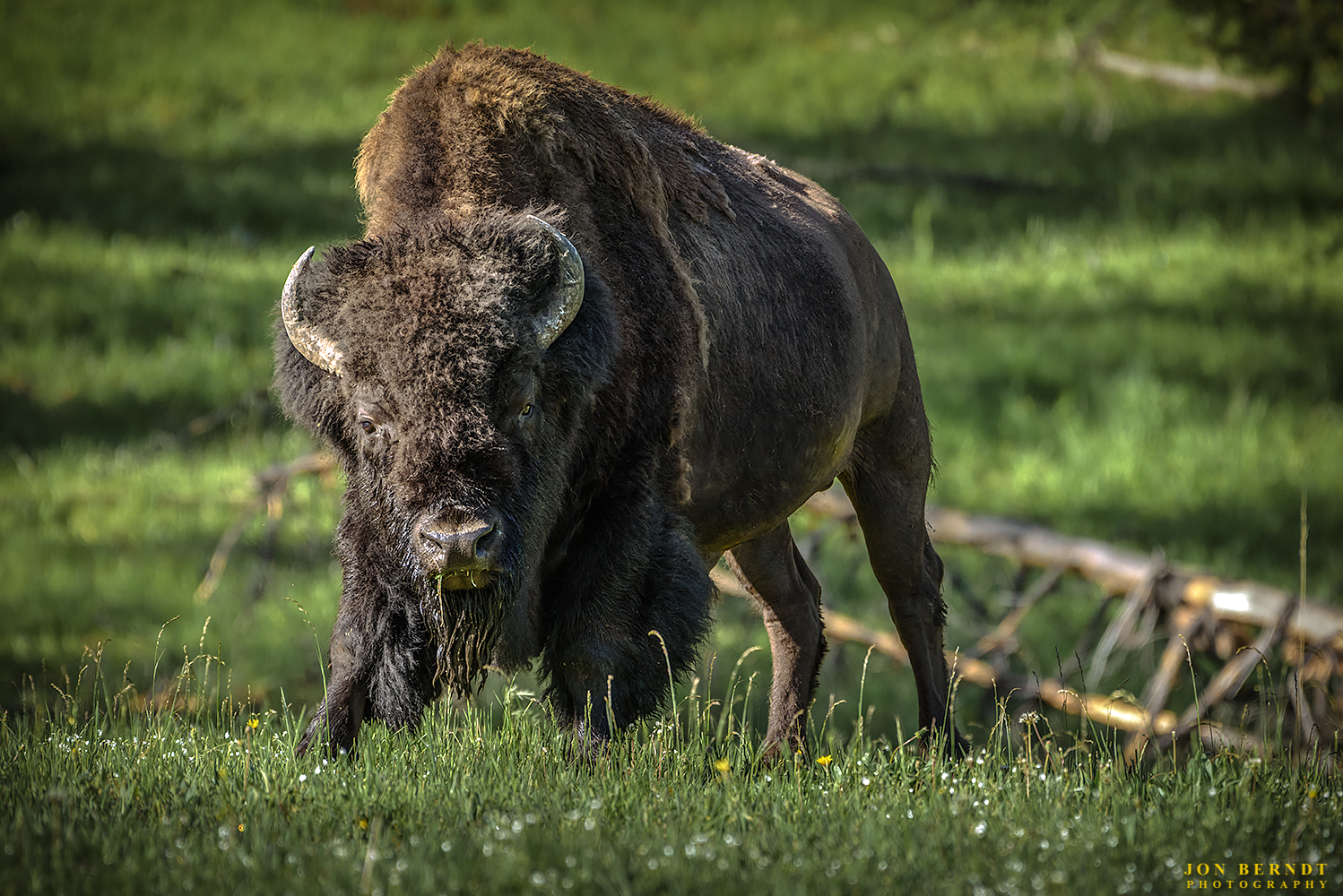 A bison eats his breakfast in Hayden Valley, Yellowstone National Park.   Click here  for information on ordering a print of this photograph.