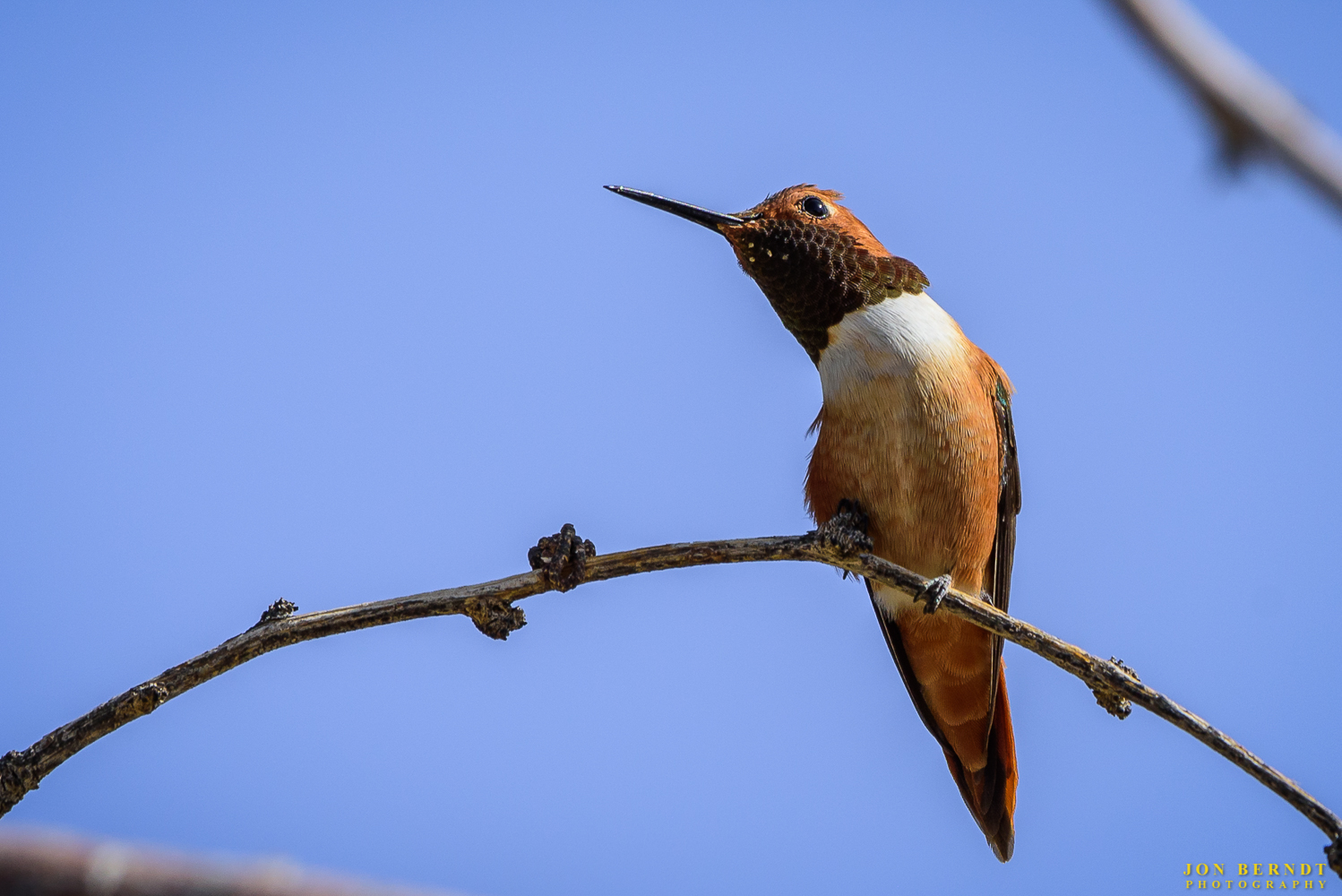 A Rufous hummingbird rests on a branch near the feeders, not sure what to make of me.