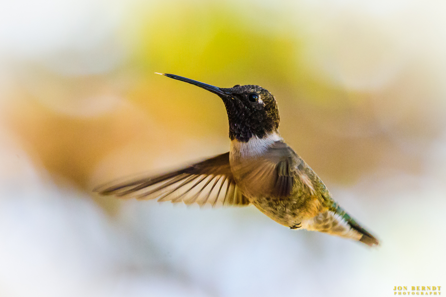 """A Costa's hummingbird (maybe) in flight. The hum of these birds can be startling! They sound too much like bumblebees! But they are fun to watch and a challenge to photograph in flight. From  Audubon.org : """" The desert might seem like a bad place for a creature that feeds at flowers, but it is the favored habitat for Costa's Hummingbird. In Arizona and California deserts, this species nests during late winter and spring, and most then avoid the hot summer by migrating to coastal California and Baja. The thin, high-pitched whistle of the male is often heard over desert washes in early spring.  """""""
