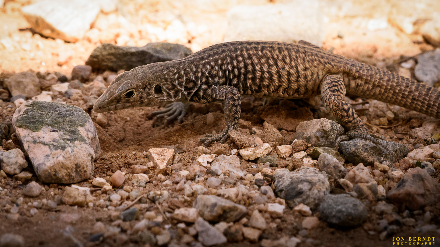I have no idea what kind of lizard this is. A desert iguana?
