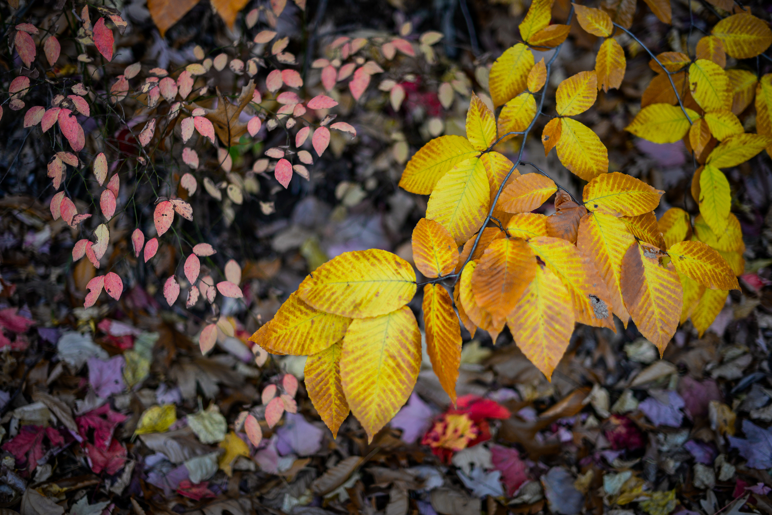 Elm Leaves turning against leaf confetti.jpg