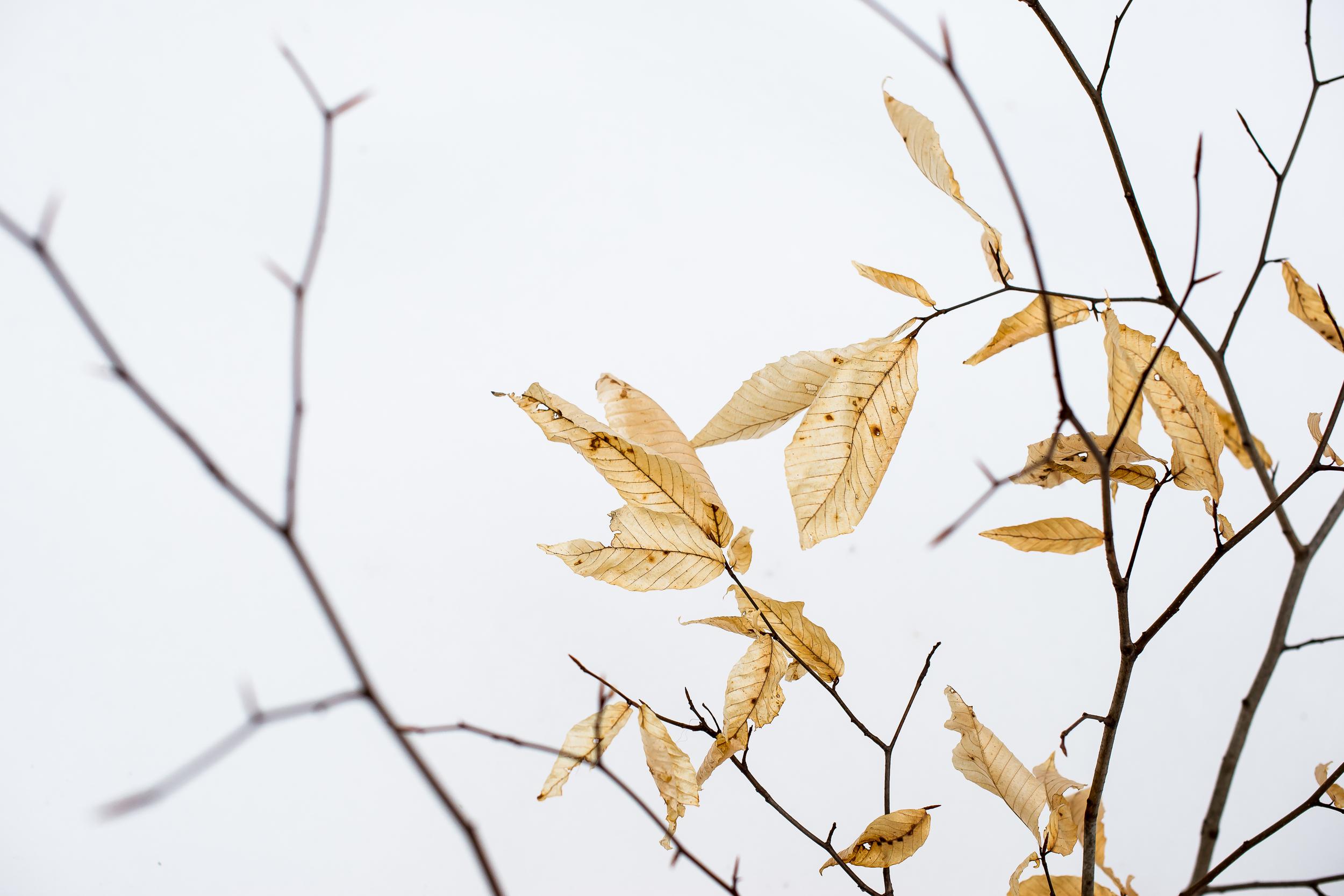 Winter Elm Leaf Leftovers.jpg