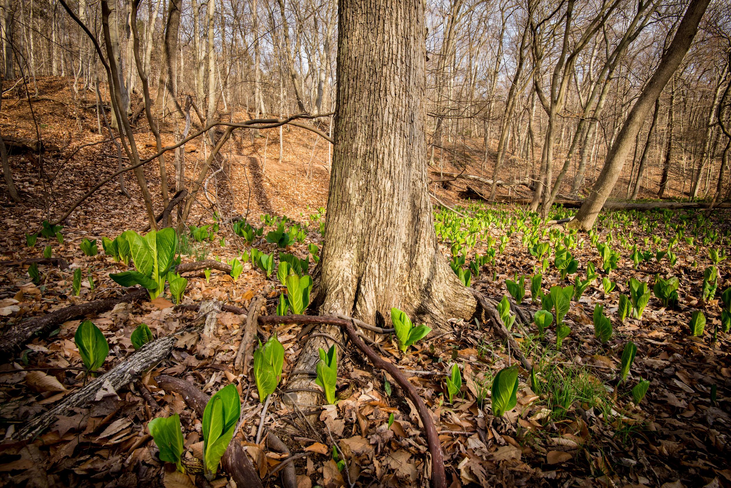 Skunk Cabbage Forest Floor-1.jpg