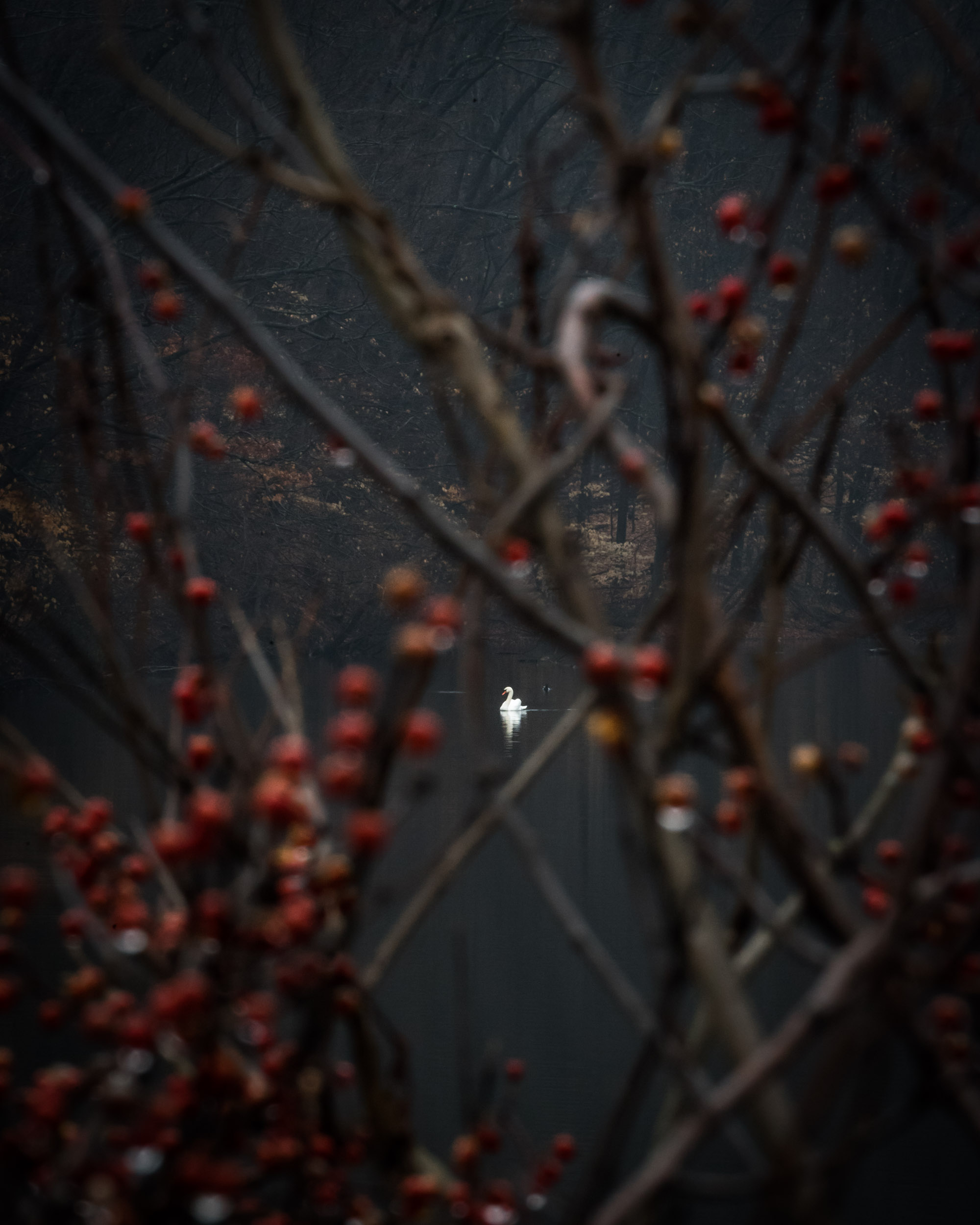Swan berries.jpg