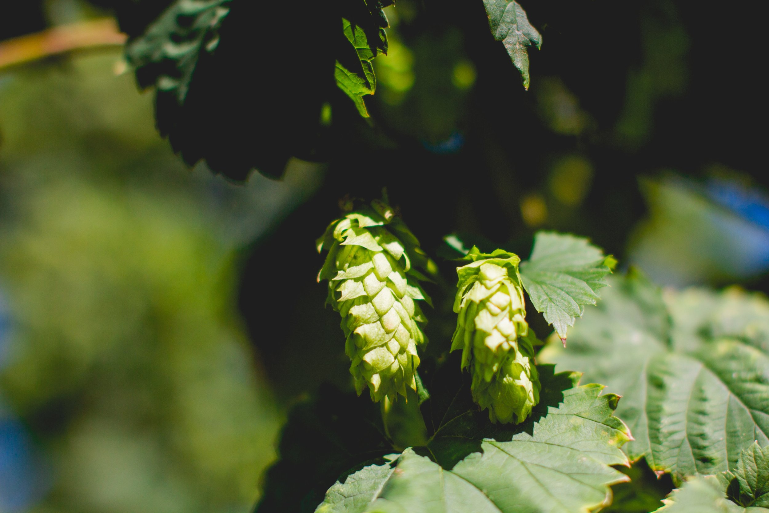 Pleasant Valley Chinook Hops. Photo: Noah Redka