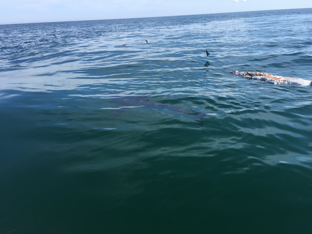 Great White Circling and Feeding on Gray Seal off Monomoy Island