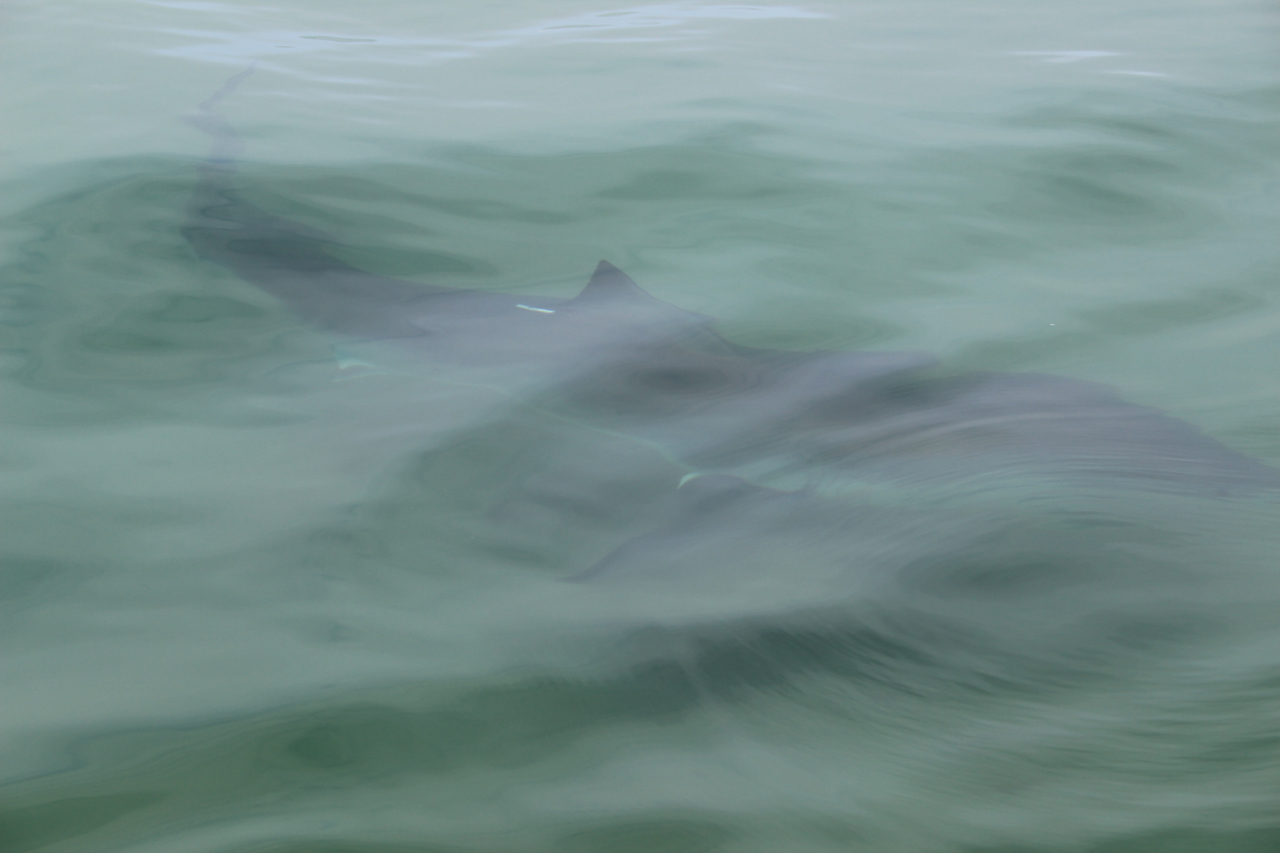 Great White Shark we observed up close on a Great White tour with spotter plane off Monomoy.