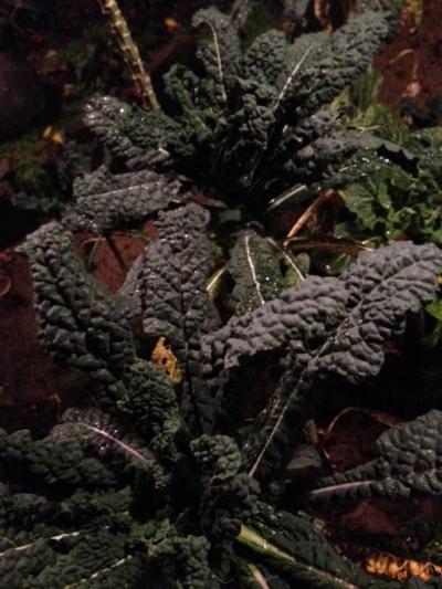 cavolo nero in the garden