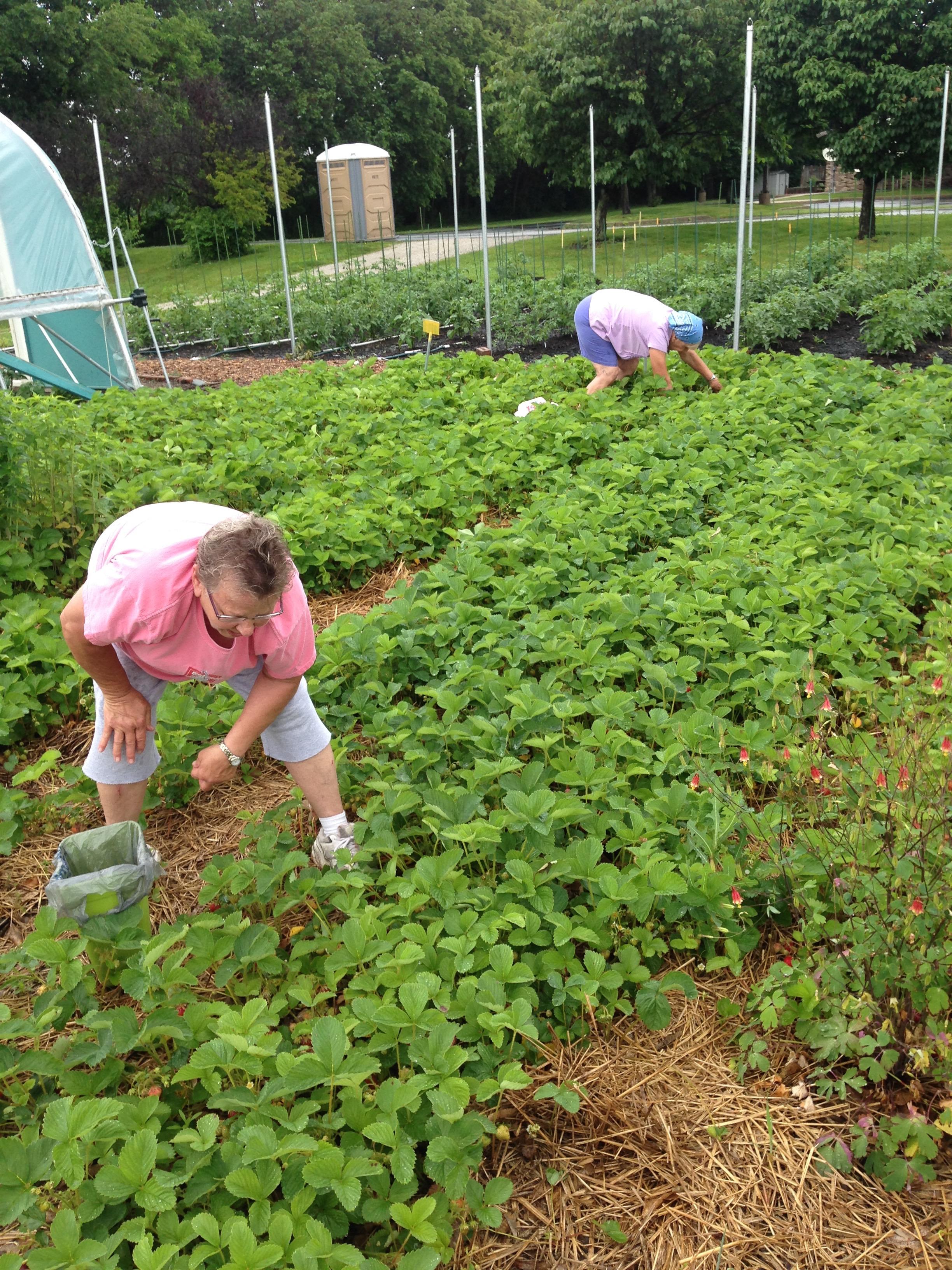 Picking strawberries.jpg
