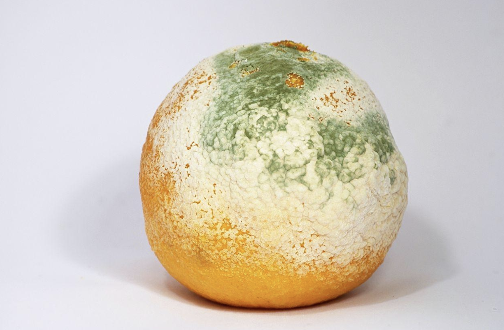 A visible   mycelium   on the surface of a rotting orange.
