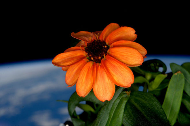 The first Zinnia to bloom in space! Grown by Scott Kelly on the International Space Station.