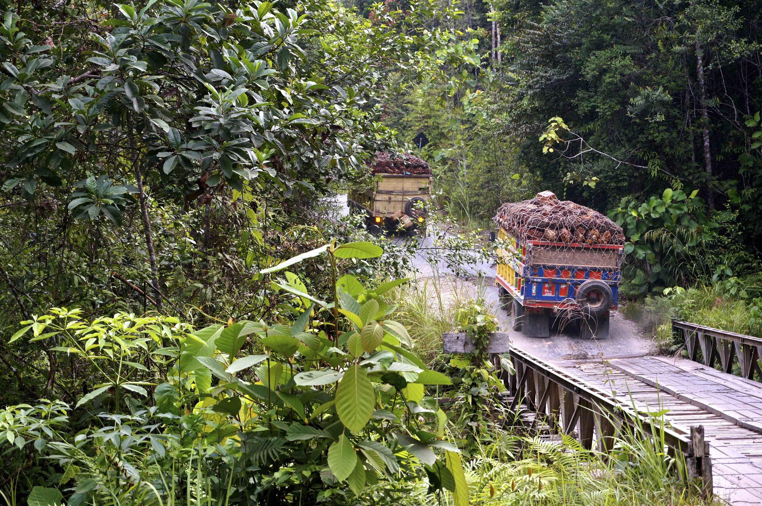 Lastbilar fulla med palmfrukter från palmplantagen