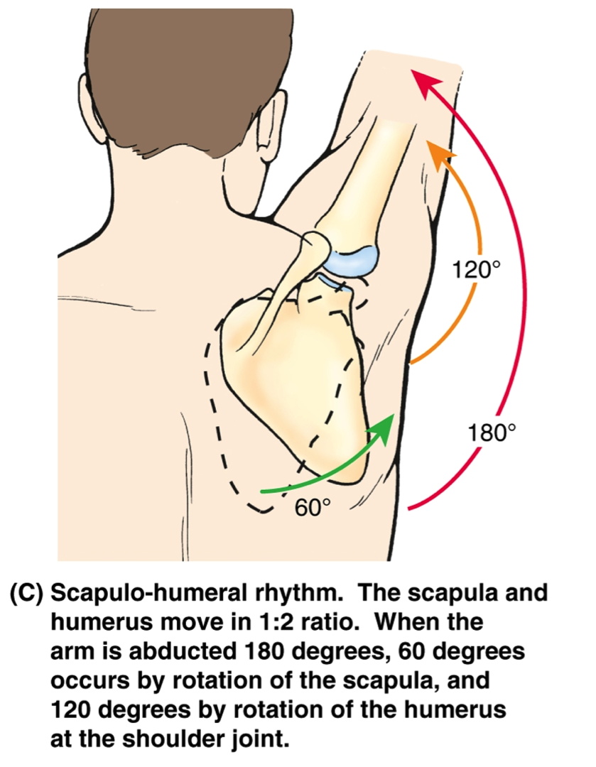 We need a freely gliding scapula to get overhead pain-free.