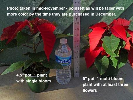 PoinsettiaSizes_3_455.jpg