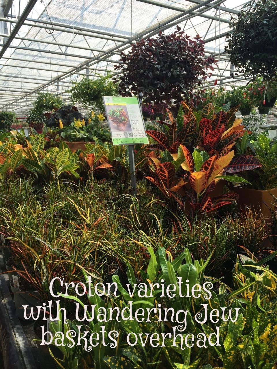 Croton and Wandering Jew