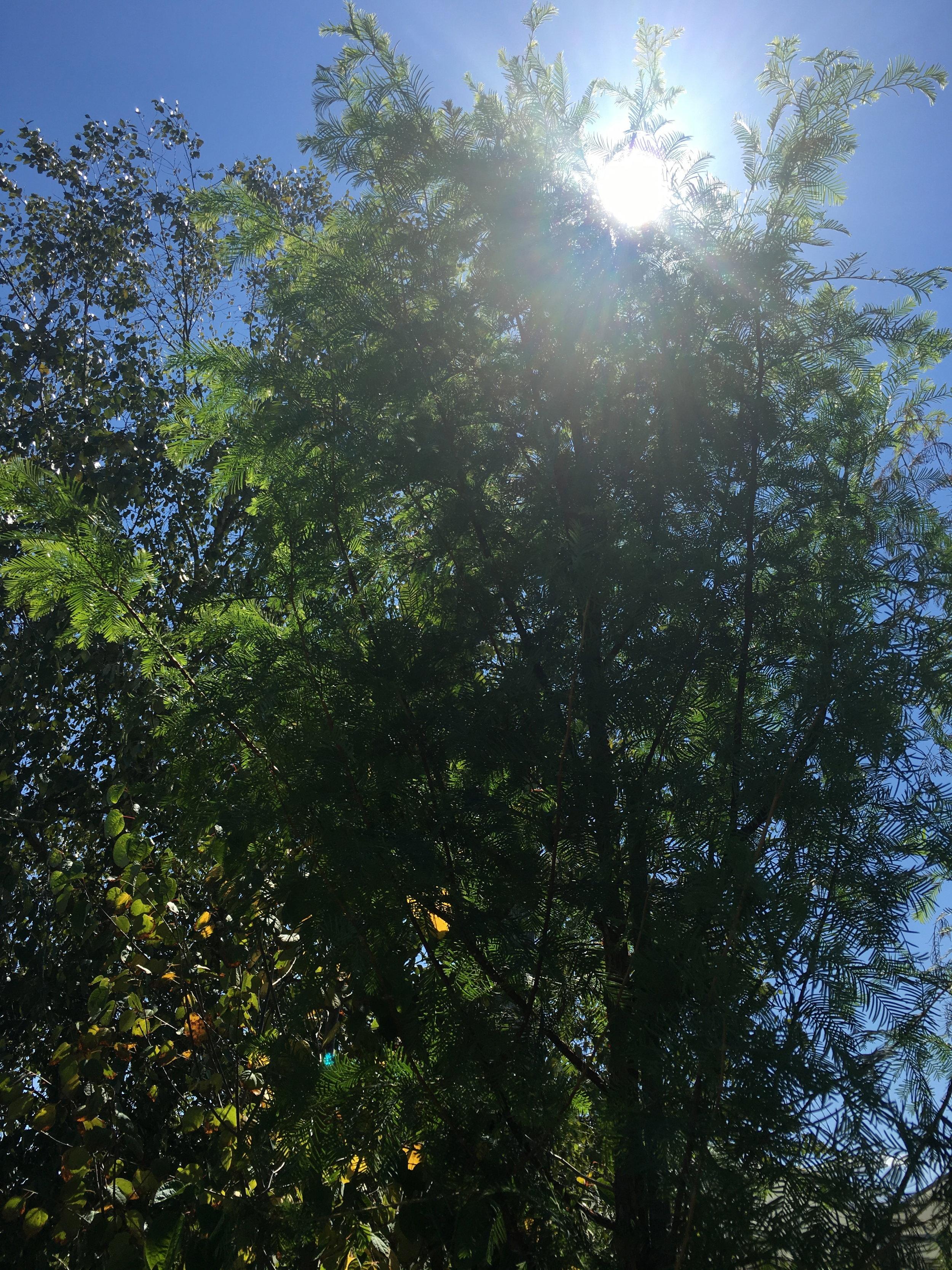 dawn redwood tree.jpg