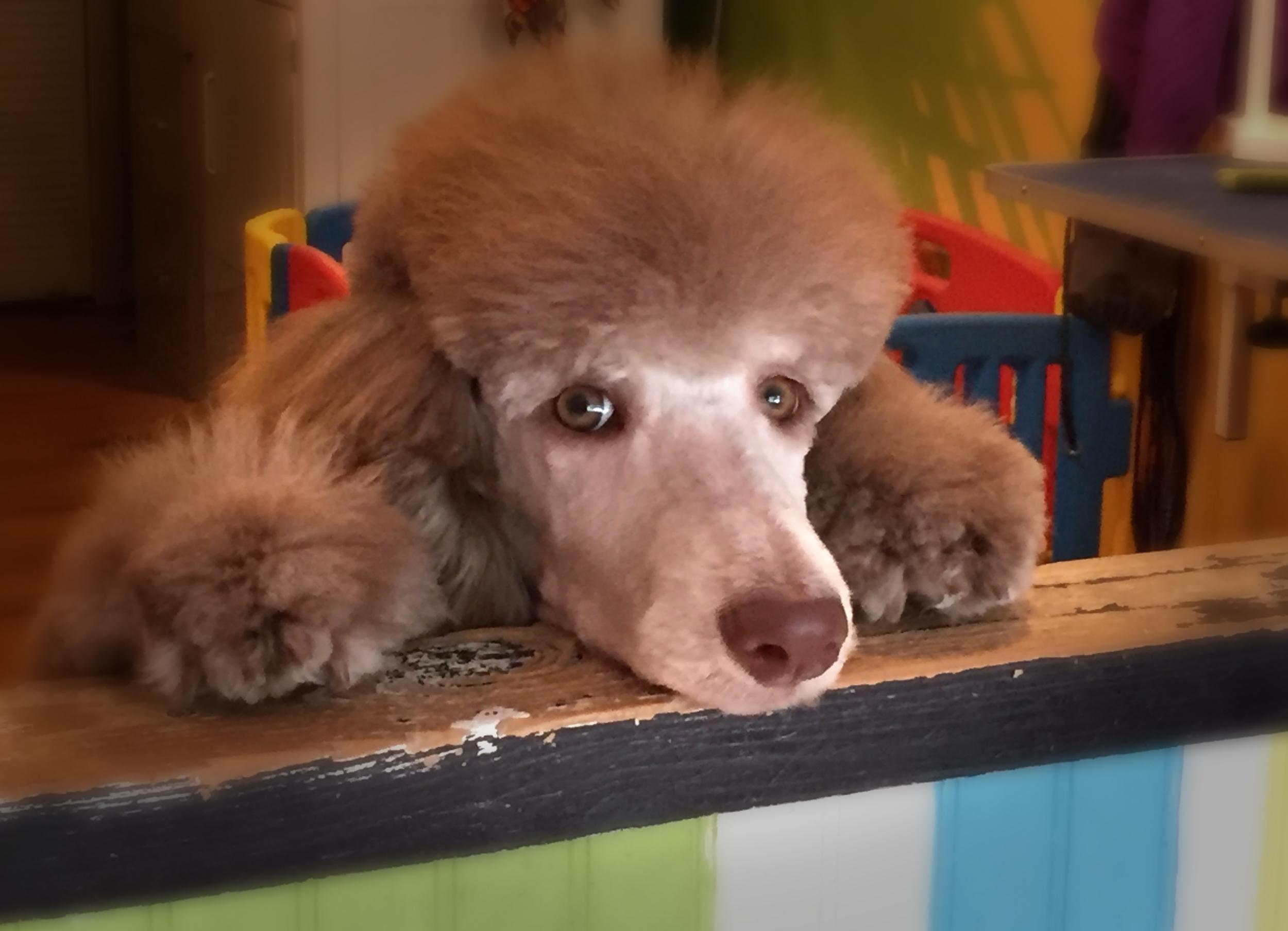 poodle puppy.jpg